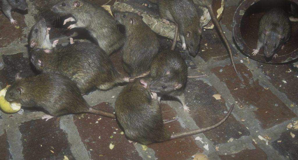 уничтожение крыс в Гатчине